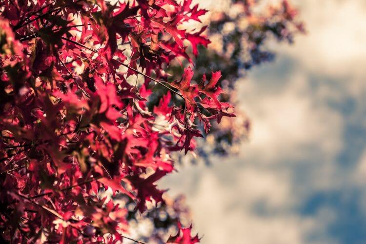 rode boombladeren