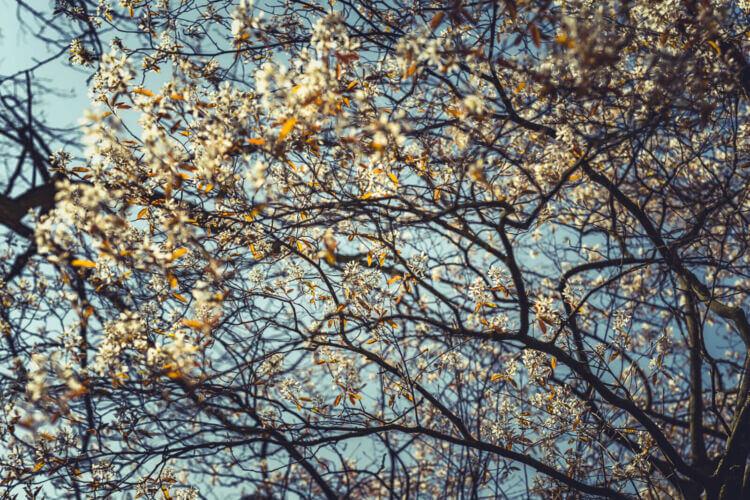 Natuurfotografie tijdens de lente in Den Bosch van witte bloesem rond de ijzervrouw