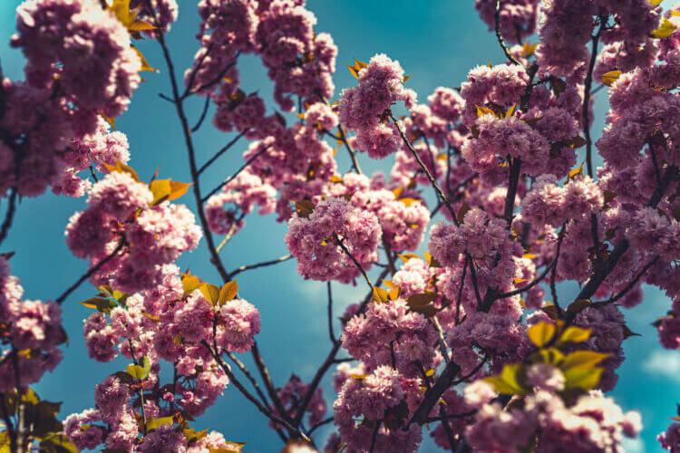 Natuurfotografie tijdens de lente in Den Bosch van roze bloesem rond de ijzervrouw